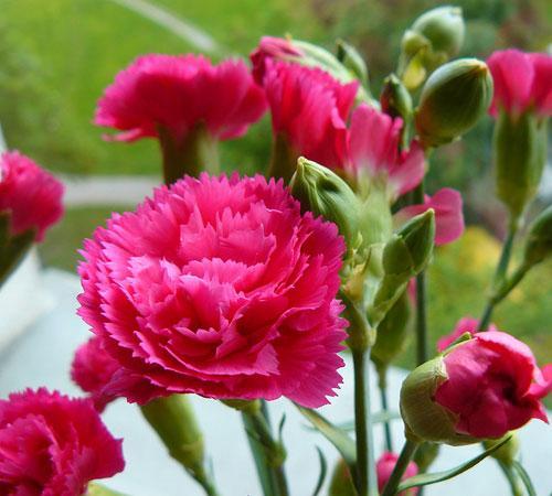 Hoa cẩm chướng hồng