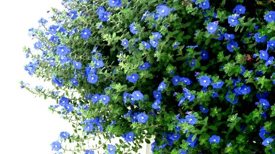Hoa thích hợp trong cả mùa xuân lẫn mùa hè