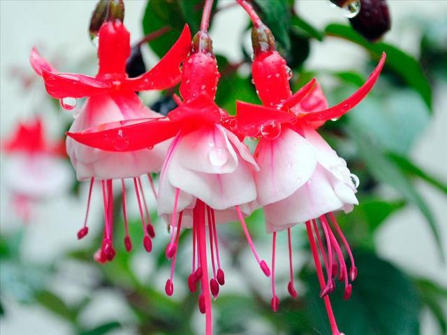 Hoa đèn lồng như dáng hình của những cô thiếu nữ đang xúng xính trong chiếc đầm dạ hội