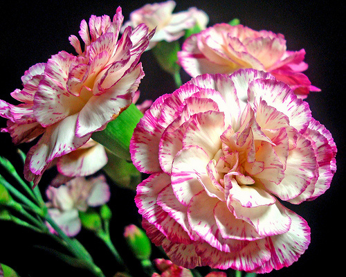 Hoa cẩm chướng xinh đẹp