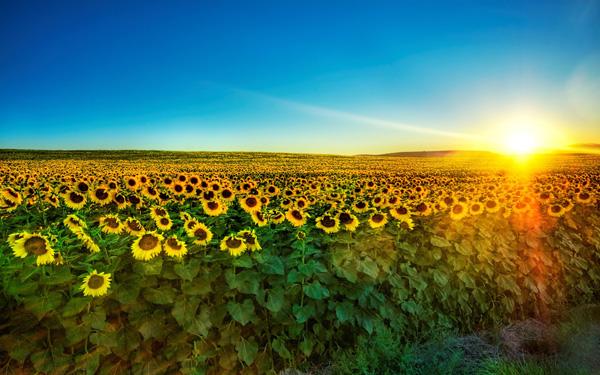 Kết quả hình ảnh cho câu chuyện về hoa hướng dương