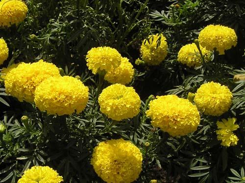 Ý nghĩa hoa cúc vạn thọ