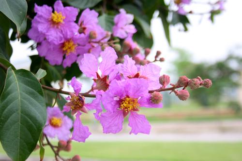 Kết quả hình ảnh cho hoa bang lang