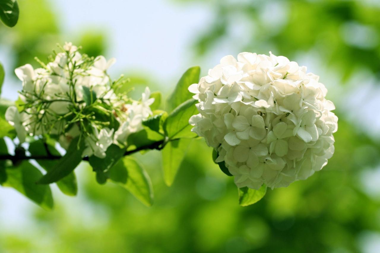 hoa cẩm tú cầu trắng