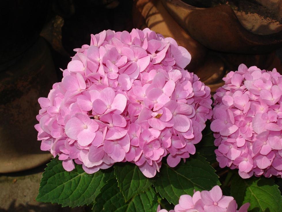 hoa cẩm tú cầu hồng