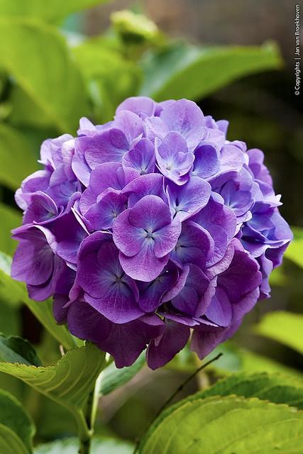 hoa cẩm tú cầu tím