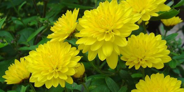 Kết quả hình ảnh cho hoa cúc vàng