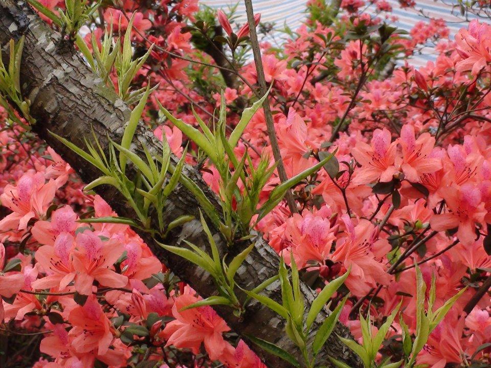 Mùa Xuân cẩn thận tránh chưng những cây hoa gây độc.4