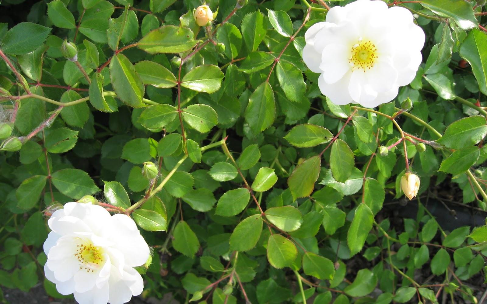 Hoa hồng dại