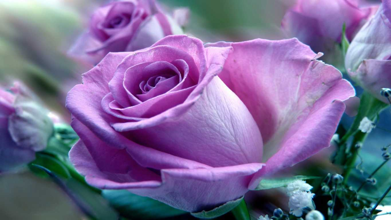 Hoa hồng tím rất hiếm trong tự nhiên chủ yếu là do sự lai tạo giữa các giống hoa hồng với nhau
