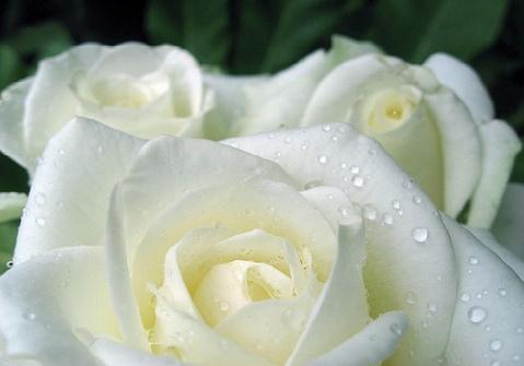 Hoa hồng trắng