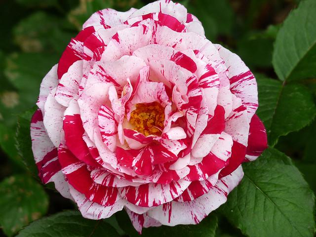 Hoa hồng viền trắng