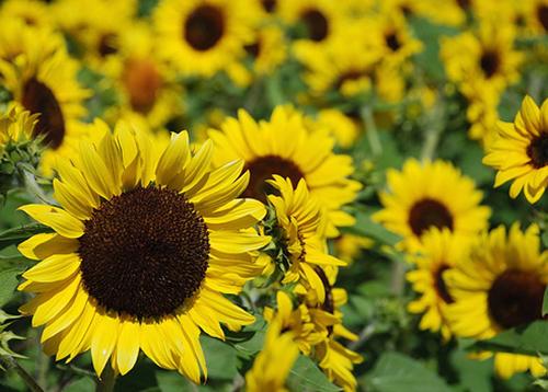 Ý nghĩa của hoa Hướng dương