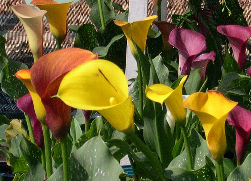Hoa Loa Ken Kỹ thuật chăm s�c hoa loa k�n