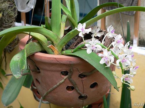 Hoa phong lan