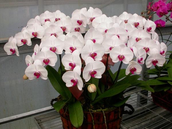 Ý nghĩa hoa Phong Lan trắng