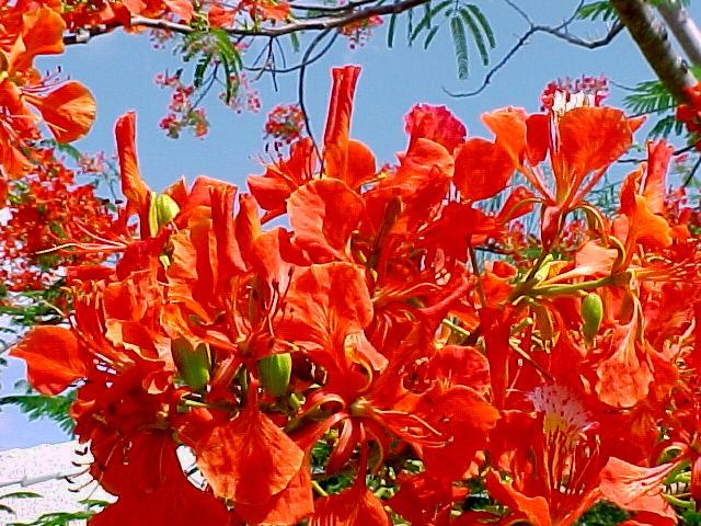 Hoa phượng