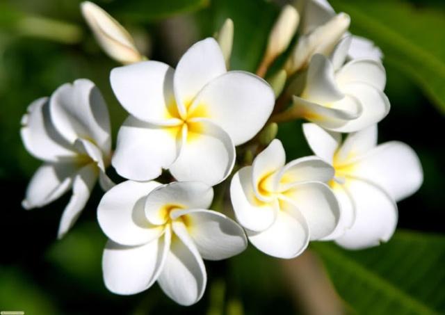 Kết quả hình ảnh cho hoa sứ trắng