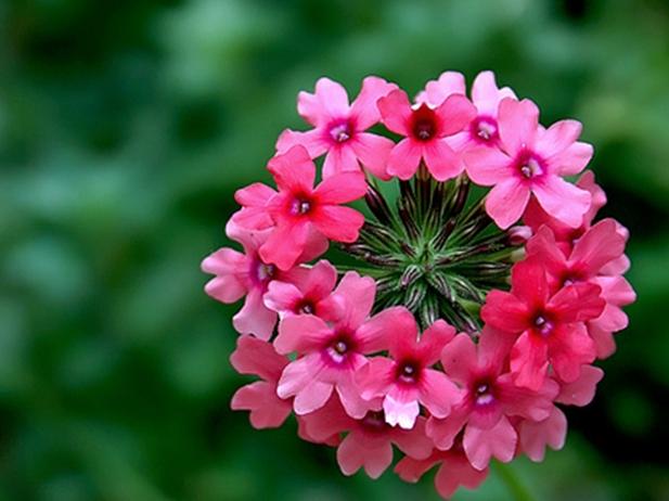 Hoa Phong lữ thảo và kỹ thuật trồng nó