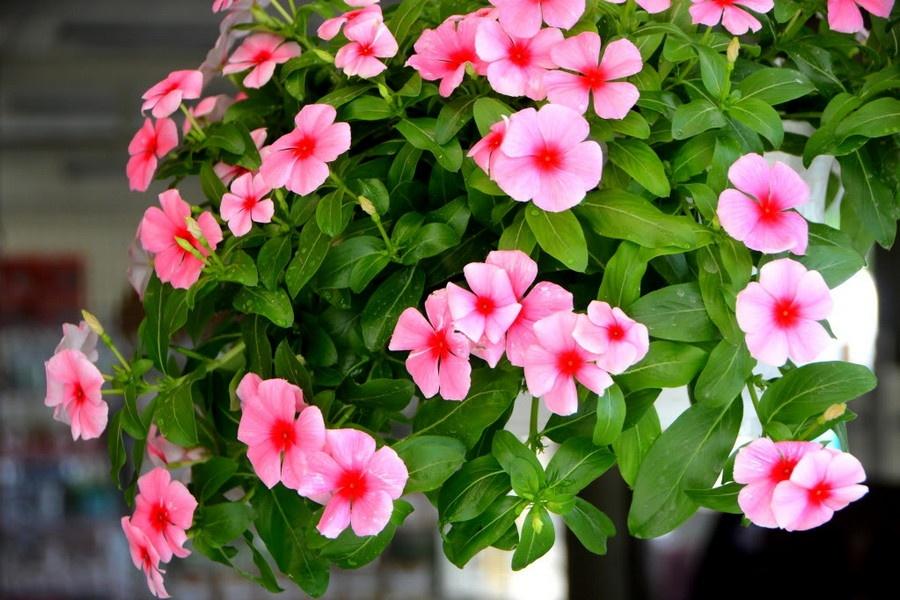 Hoa dừa cạn là loại hoa nhẹ nhàng với màu hồng tinh tế sẽ là món quà tuyệt vời dành tặng cho người thân bạn bè