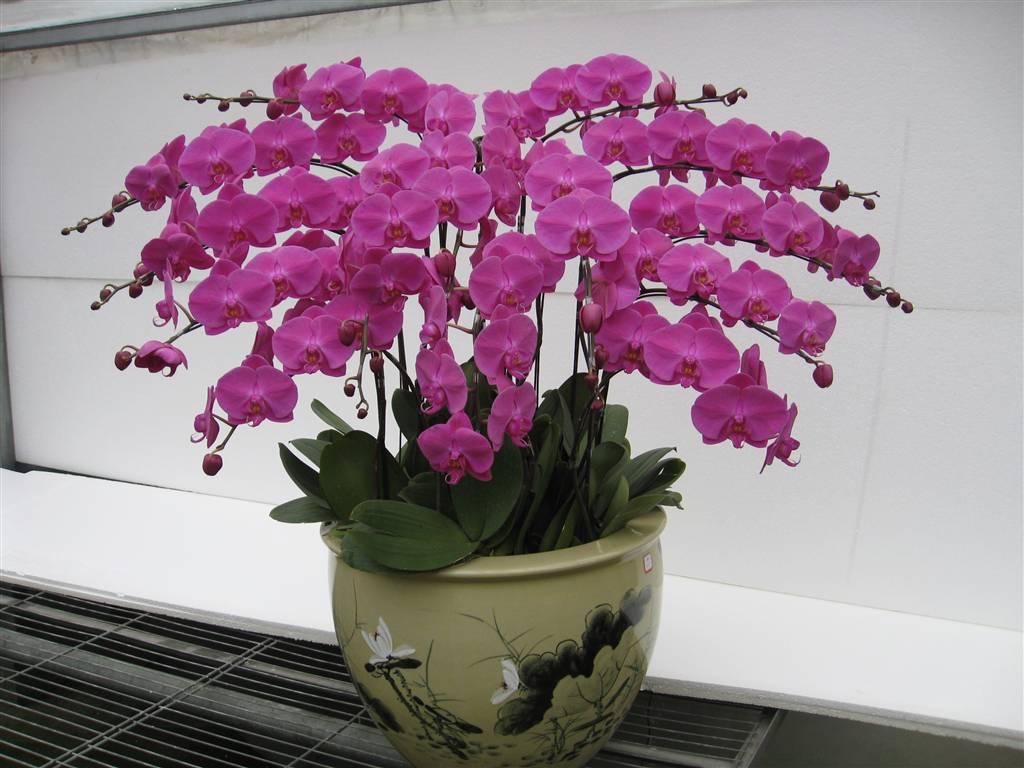 Lan hồ điệp là loại hoa có ý nghĩa sang trọng, tinh tế và có nhiều ý nghĩa