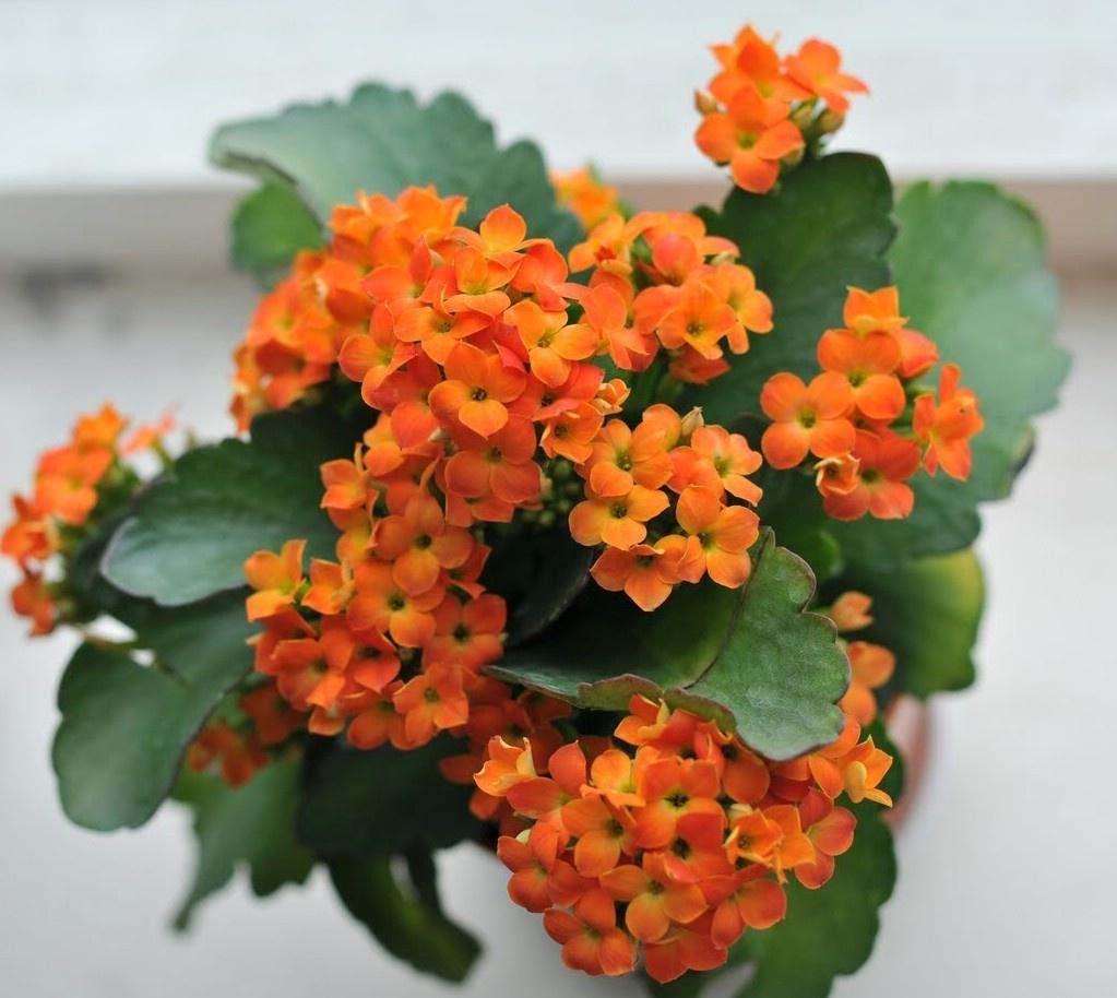 Tặng một chậu hoa sống đời cho bạn bè có ý nghĩa là bạn mong muốn tình bạn của hai người trường tồn theo thời gian