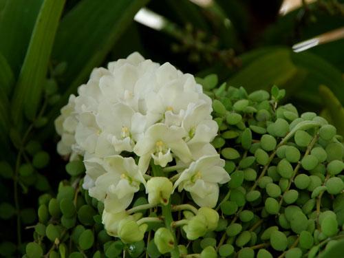 phong lan rừng trong hội hoa xuân 2013