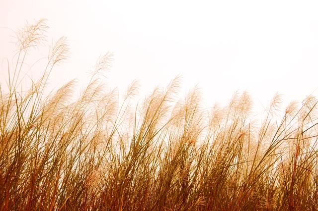 Kết quả hình ảnh cho hình ảnh hoa cỏ may đẹp