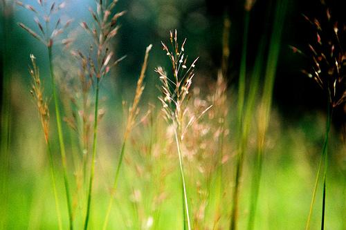 sự tích hoa cỏ may 02
