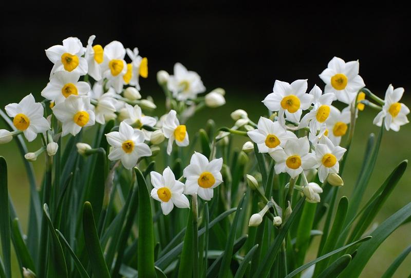 Bó hoa thủy tiên tặng mẹ tượng trưng cho sự dịu dàng và nhân hậu của mẹ