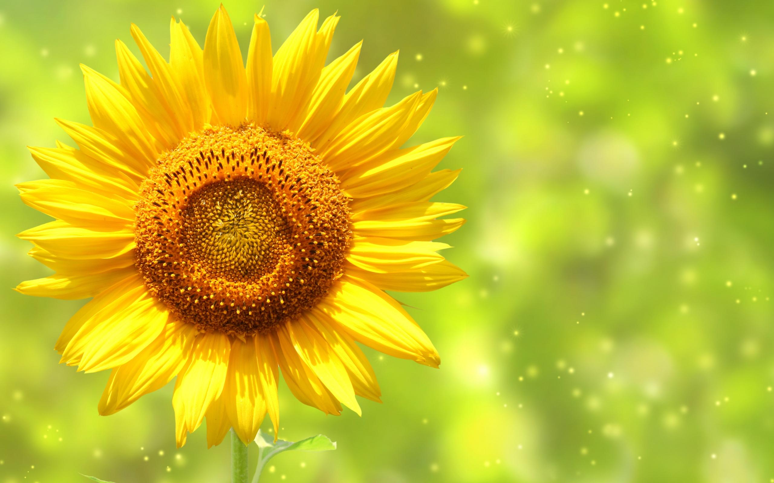 Hoa hướng dương dành tặng mẹ với ý nghĩa về niềm tin và hy vọng