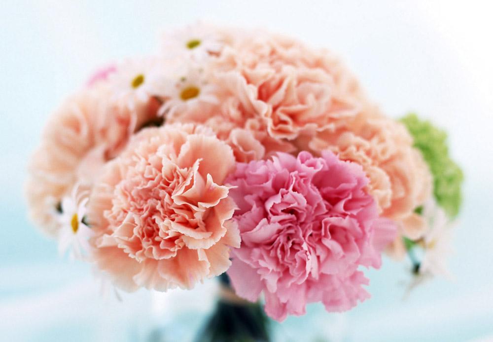 Hoa cẩm chướng hồng tặng mẹ tượng trưng ý nghĩa về lòng quý mến và tình yêu thanh cao