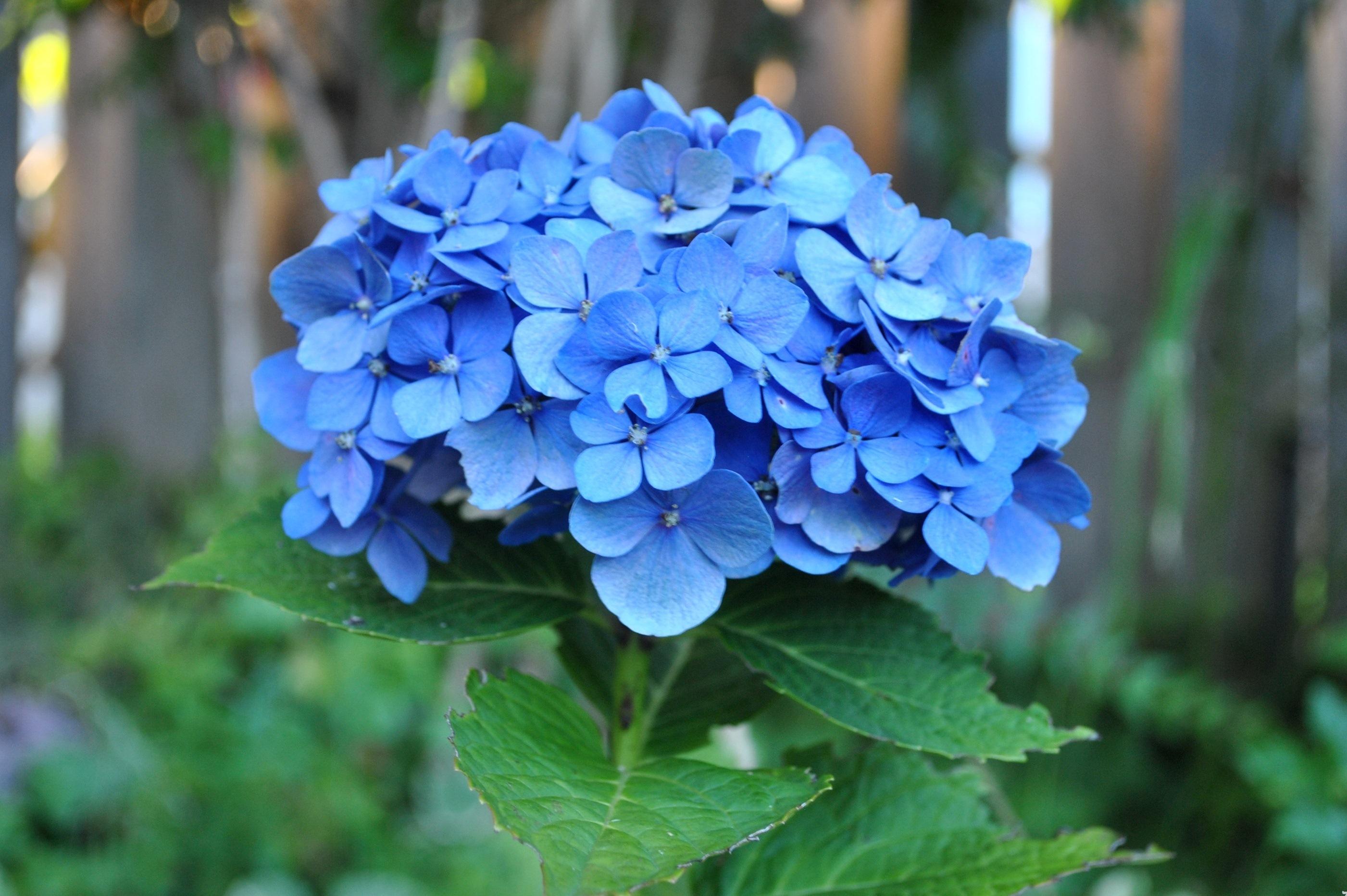Hoa cẩm tú cầu tượng trưng ý nghĩa về hạnh phúc viên mãn