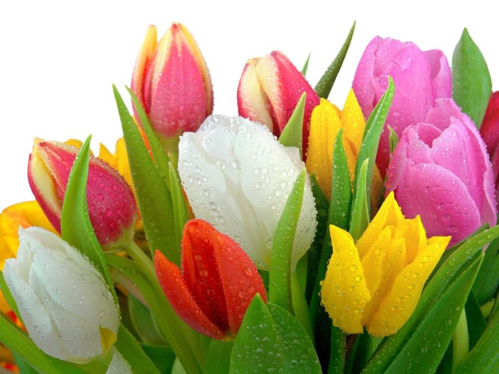 Hoa tulips thể hiện tình yêu đẹp như truyện cổ tích