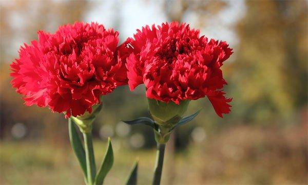 Hoa cẩm chướng thể hiện ý nghĩa em là người quyến rũ vô cùng và tình yêu chúng mình rất thiêng liêng