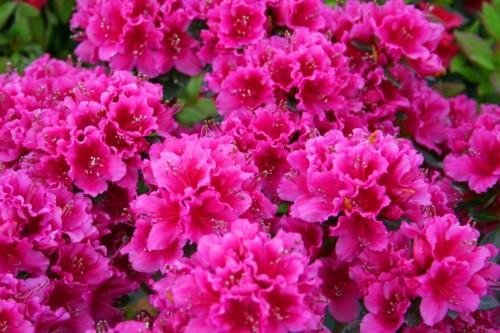 Hoa đỗ quyên anh rất yêu và lo lắng cho em