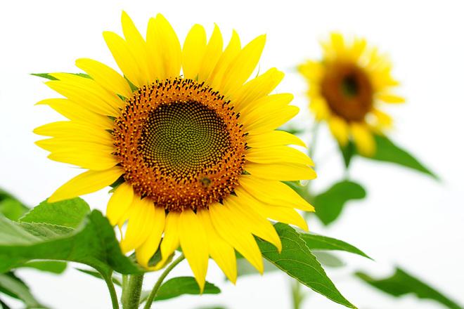 Hoa hướng dương thể hiện ý nghĩa niềm tin và hy vọng về tương lai