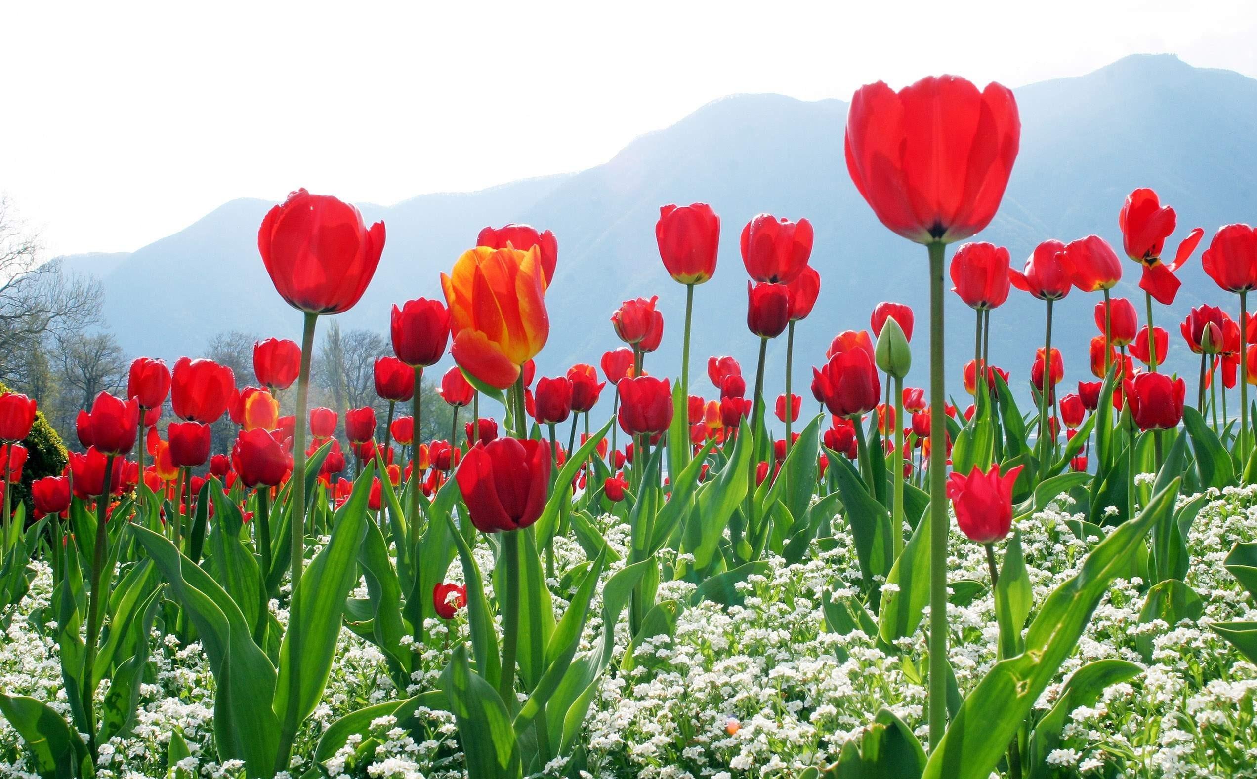 Hoa tulip thể hiện lòng quý mến của mình dành cho bạn
