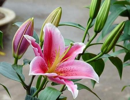 Bó hoa ly tặng cho mẹ thể hiện tấm lòng trong sáng và cao thượng của mẹ