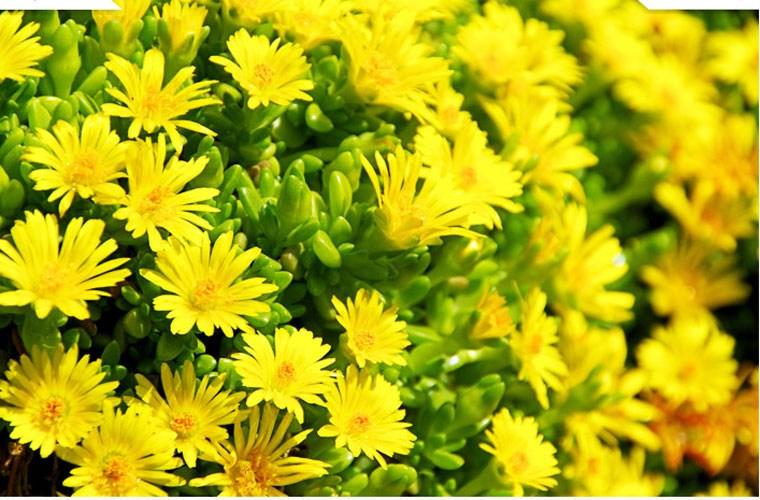 Bó hoa cúc vàng tặng mẹ thể hiện ý nghĩa về lòng kính yêu và sự quý mến