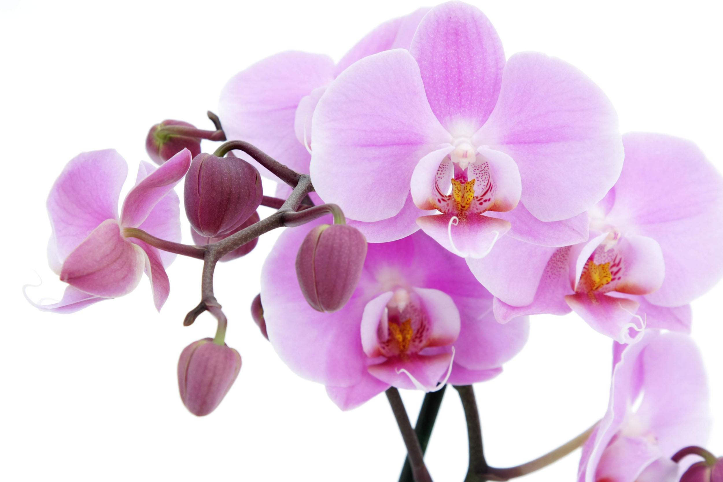 Hoa lan dành tặng mẹ thể hiện ý nghãi về tình yêu tha thiết ấp ủ trong lòng và lòng bao dung