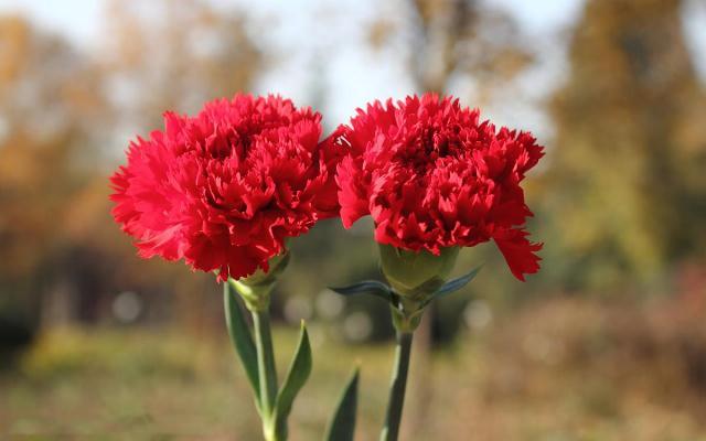 Khi tặng hoa tươi 20/10 là cẩm chướng chính là biểu trưng cho lòng ái mộ