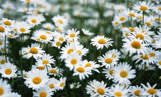 Đây chính là loài hoa tượng trưng cho sự cao thượng