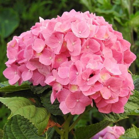 Là loài hoa với nhiều cánh hoa nhỏ kết hợp với nhau theo hình cầu