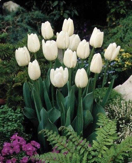 hoa tuip trắng