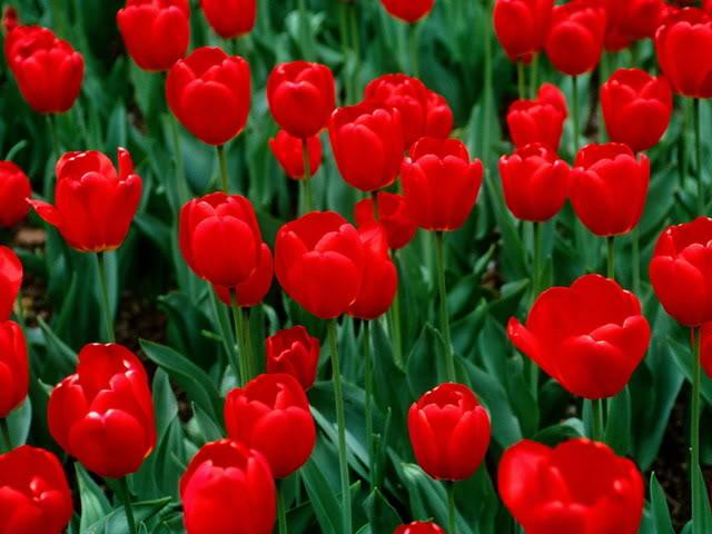 Red Tulip (Tulip đỏ)