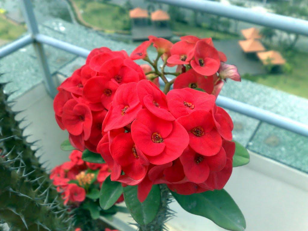Kết quả hình ảnh cho hoa bát tiên