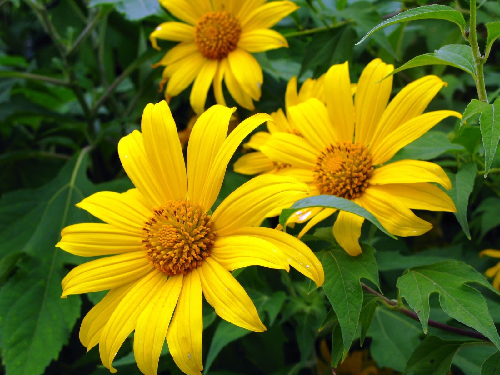 Ý nghĩa ngọt ngào của hoa Dã Quỳ trong tình yêu