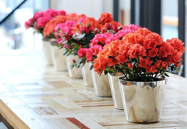 Hướng dẫn kỹ thuật trồng và chăm sóc hoa Đỗ Quyên chậu