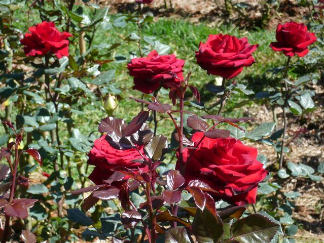 Cách trồng hoa hồng với củ khoai tây